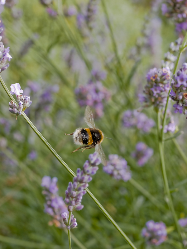 Busy busy bumble bee among Lavender