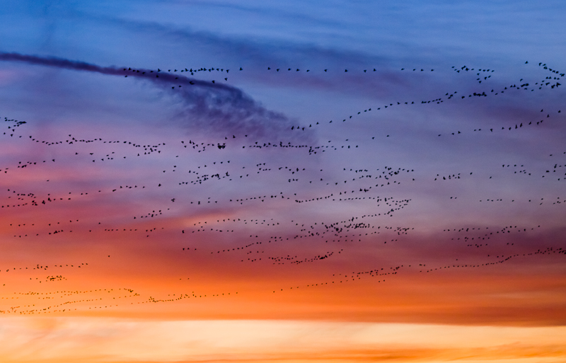 Flocks Geese in the Sunset Sky